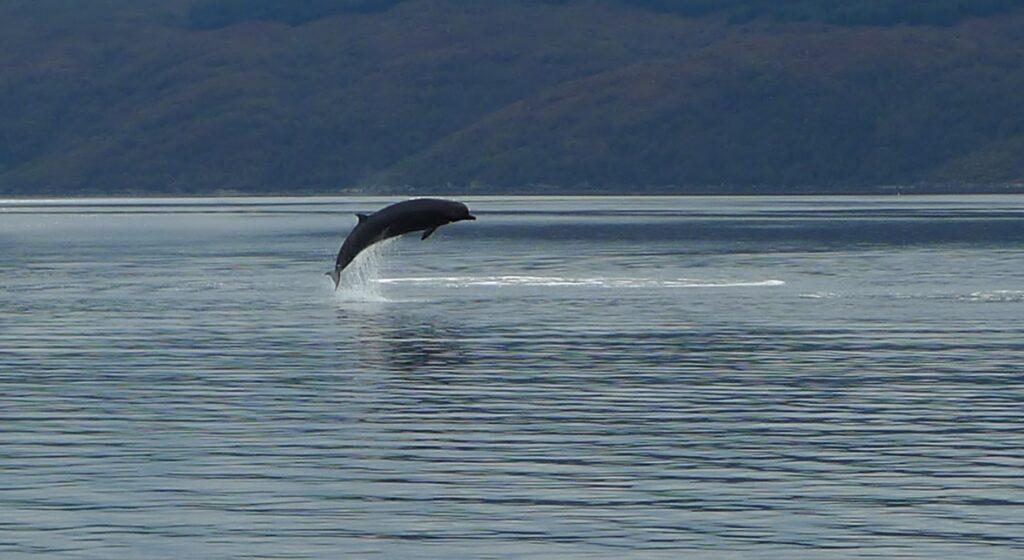 Northern Bottlenose Whale, Loch Fyne